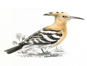 Our old friend, the Hoopoe